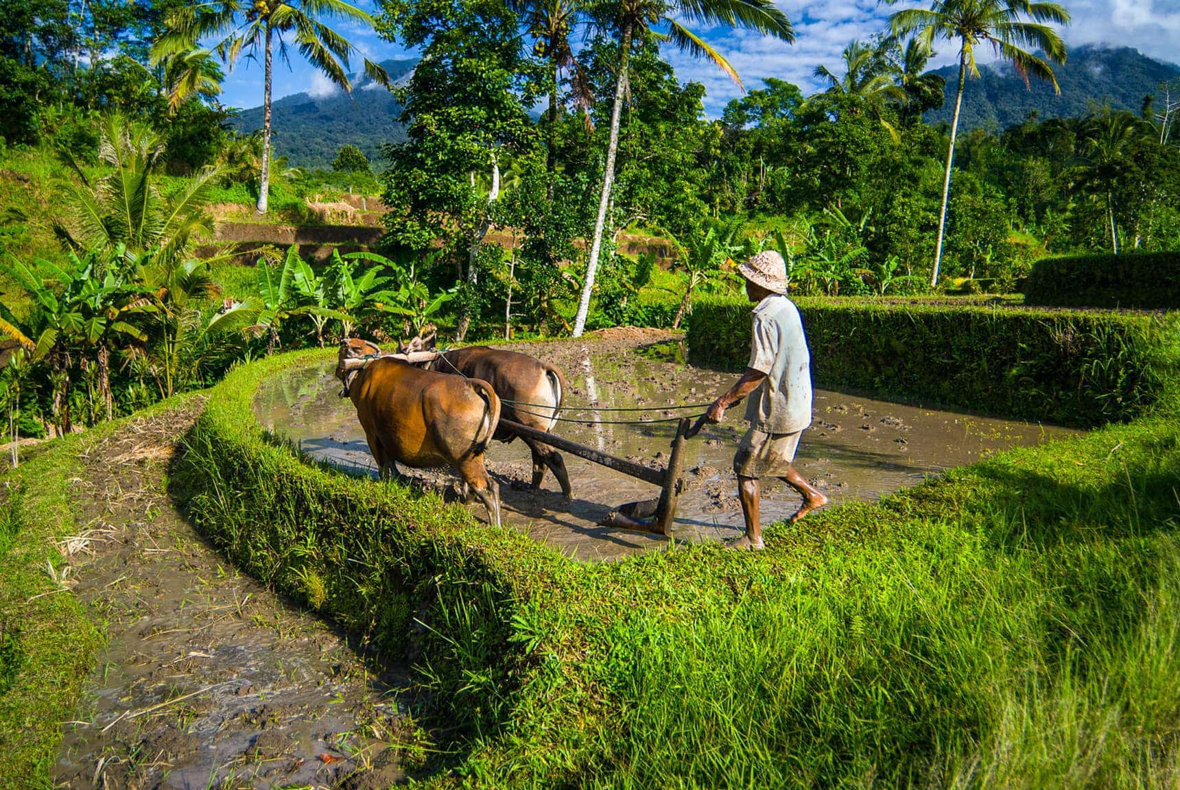 rice field plowing near Tabanan Bali